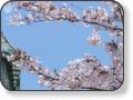 高徳院・鎌倉大仏 江ノ電「長谷駅」から徒歩7分『鎌倉の大仏』で有名なお寺です。鎌倉と言ったら大仏を思い浮かべる人も多いと思います。鎌倉の大仏は大仏の中に入れるのを知っていますか?桜の時期に訪れると「満開の桜」と「大仏」という素敵な光景が観れます、その時期限定で「さくらソフトクリーム」が食べられるので4月の高徳院は特にオススメです。〒248−0016神奈川県鎌倉市長谷4−2−28 TEL0467−22−0703 拝観時間4月〜9月8:00〜17:30 10月〜3月8:00〜17:00 大仏胎内拝観時間8:00〜16:30
